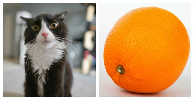 апельсины помогут отучить кошку прыгать на стол