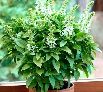 Базилик растение
