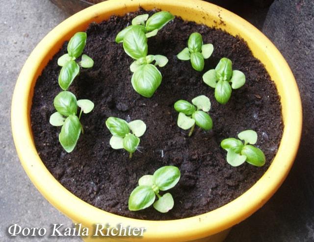 Выращивание базилика из семян на подоконнике